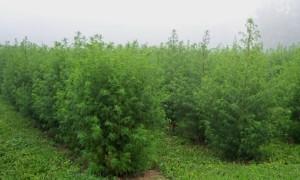 Artemisia annua - la piantagione