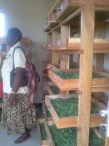 L'essicazione d'artemisiain Tanzania