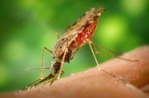 Komar z rodzaju Anopheles, wektor przenoszący malarię. /źródło: wiki (domena publiczna)
